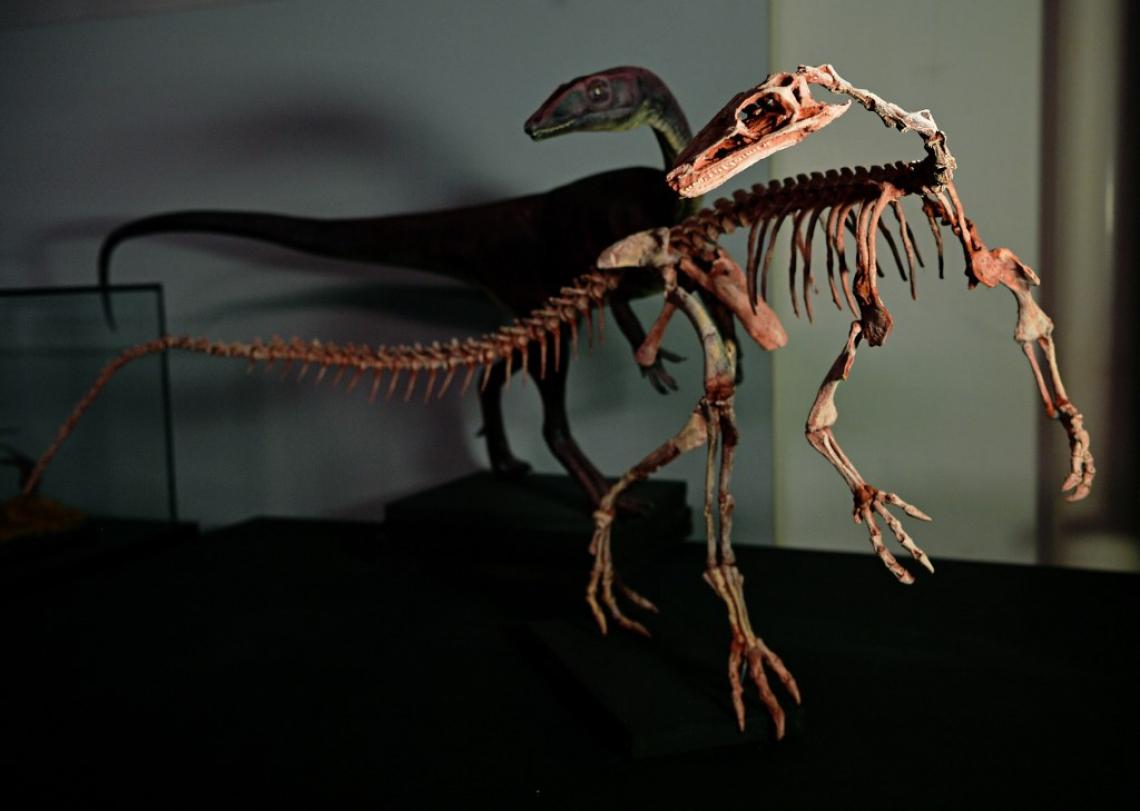Um esqueleto fossilizado de um dinossauro Buriolestes Schultzi é visto no CAPPA