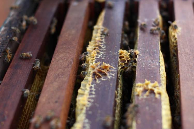 MADALENA, CE, BRASIL, 11-06-2015: Abelhas (apicultura) no sertão de Madalena. Seca no sertão cearense - Madalena. (Foto: Rodrigo Carvalho/O POVO)(Foto: O POVO)