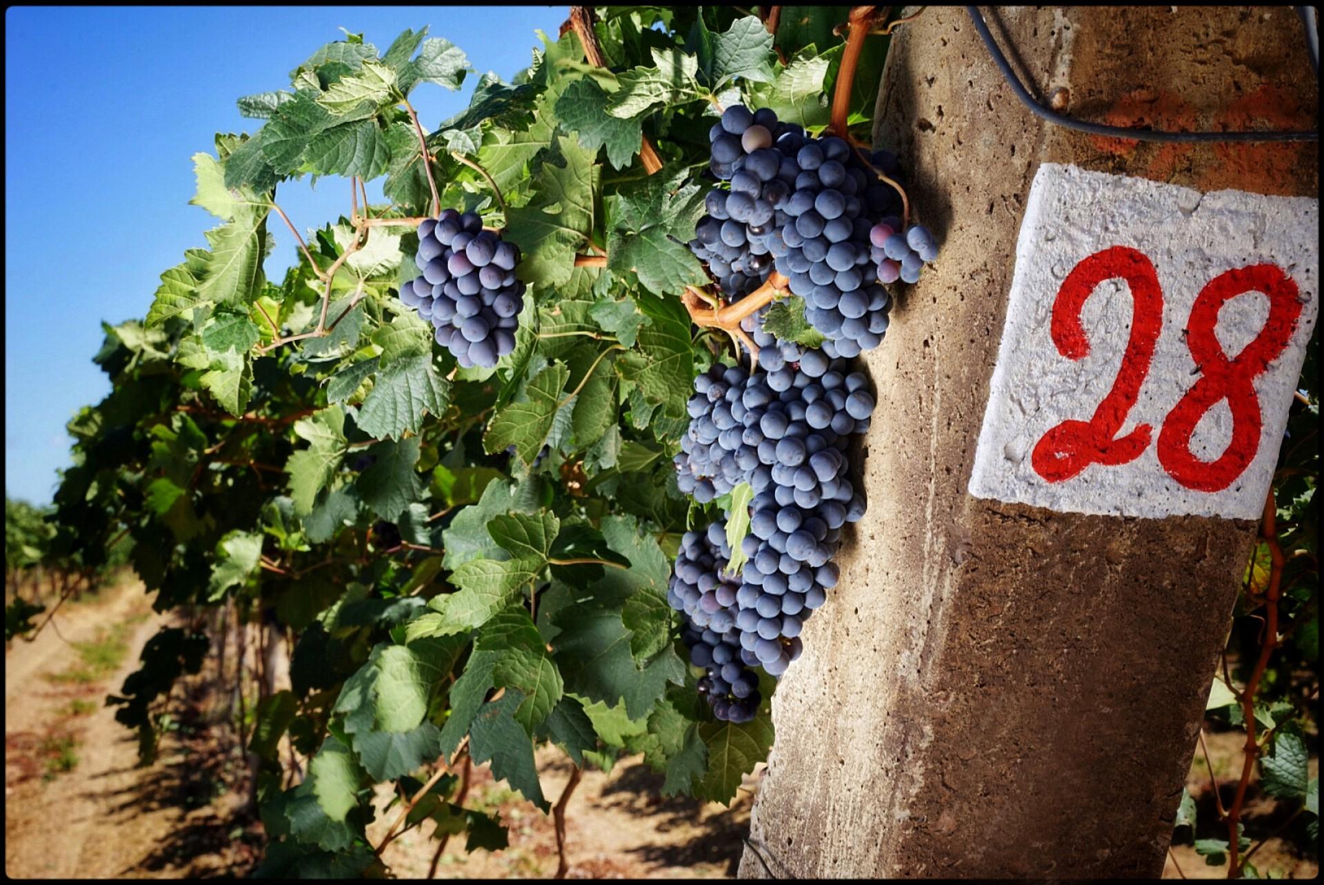 O vinho produzido no Nordeste