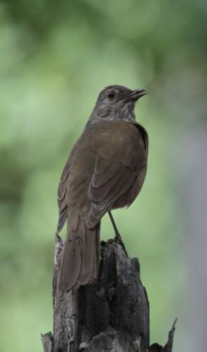 Os portugueses também trouxeram outro pássaro  muito comum nos céus do  Brasil hoje, o pardal  (Passer domesticus)