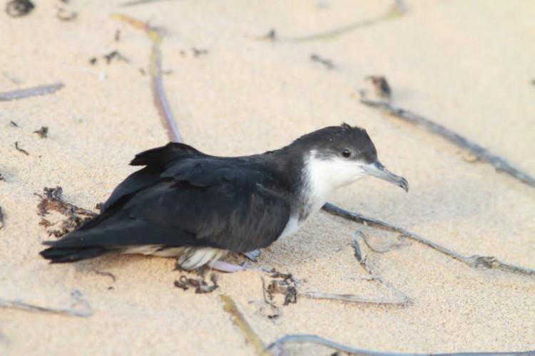 Pardela-de-asa-larga (Puffinus lherminieri). Ave marinha ameaçada de extinção que se reproduz na ilha de Fernando de Noronha