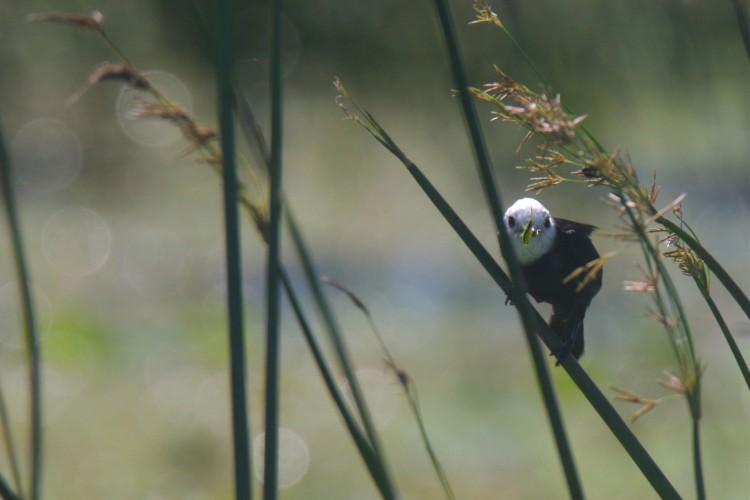 Freirinha macho (Arundinicola leucocephala). Ave que vive no habitat da lagoa da Precabura, no município de Eusébio-Ceará.