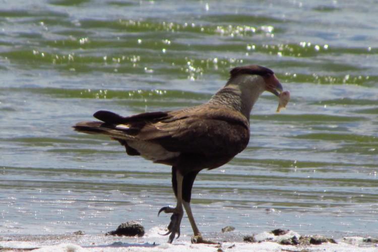 Carcará é uma das aves necrófagas, que se alimentam de carne estragada, registrada na lagoa da Precabura