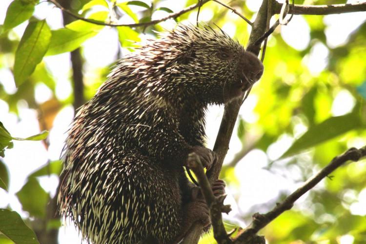 Quandu ou coandú, popularmente conhecido como porco-espinho ou ouriço, espécie de mamífero existente em ecossistemas do Ceará