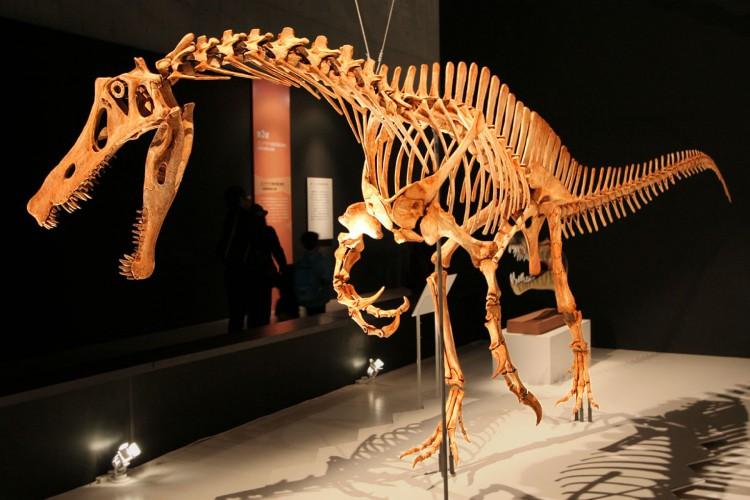 Esqueleto reconstruído de um Irritator no Museu Nacional de Ciência do Japão, Tóquio.(Foto: Kabacchi)