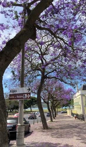 Foto de Ariadne Araújo. Enfiada de jacarandás que bordam a avenida da Torre de Belém, em Lisboa (Foto: Foto: Ariadne Araújo)