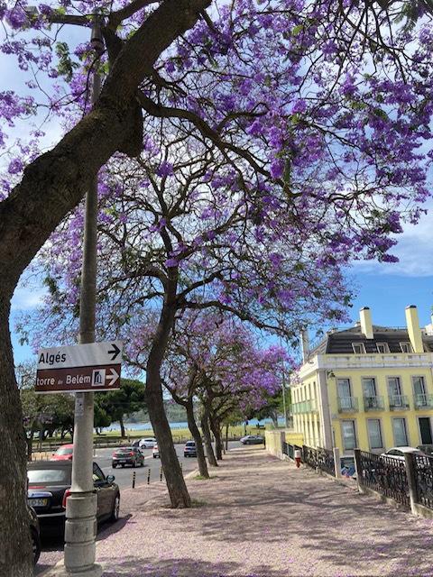 Jacarandás cobrem a paisagem de Lisboa