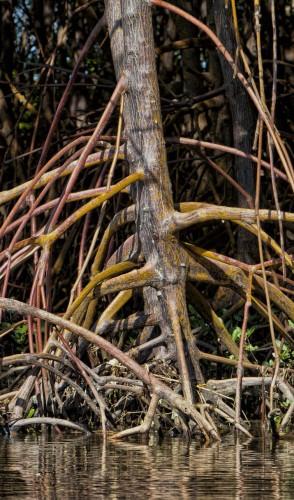 Assim, os mangues (árvores com raiz comprida) produzem 95% dos alimentos marinhos capturados pelo humano.