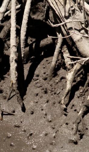 Sem contar que as raízes do mangue são gigantescos filtros, retendo os sedimentos da água.