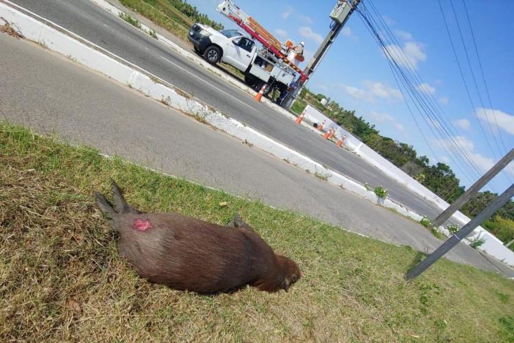 Atropelamento de capivaras na Região Metropolitana de Fortaleza está virando paisagem comum nas rodovias(Foto: FÁBIO NUNES)
