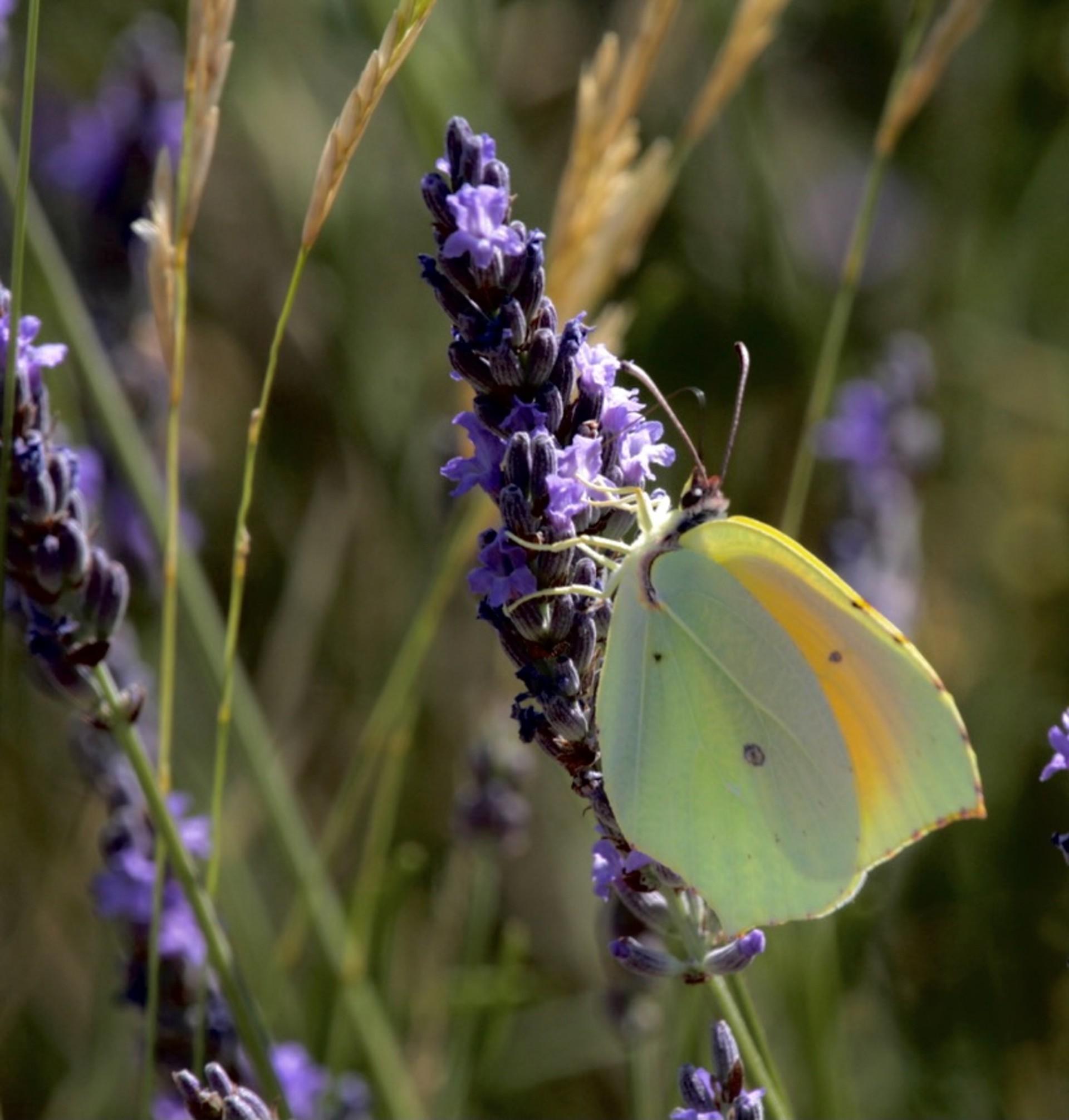 Na foto de Demitri Túlio, uma borboleta em um campo de lavandas, na região do Loire, França, no verão de 2013 (Foto: DEMITRI TÚLIO)