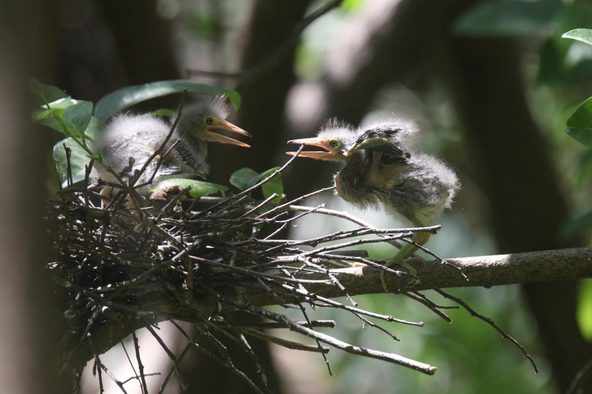 Delicadezas na natureza: filhotes de socozinho, no Parque Estadual do Cocó, em Fortaleza-Ceará (Foto: DEMITRI TÚLIO)