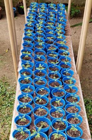 Berçário de mudas de jacarandás plantadas no quintal da cada da jornalista Lúcia Galvão e do artista plástico Roberto Galvão(Foto: LÚCIA GALVÃO)