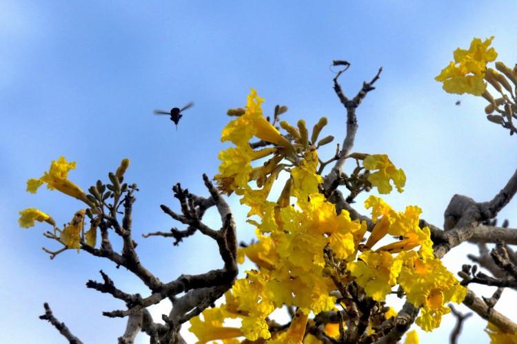 A abelha mamangava (Bombus) também está entre os bichos que se alimentam na floração do ipê-amarelo do Parque do Cocó, durante a primavera(Foto: Demitri Túlio)