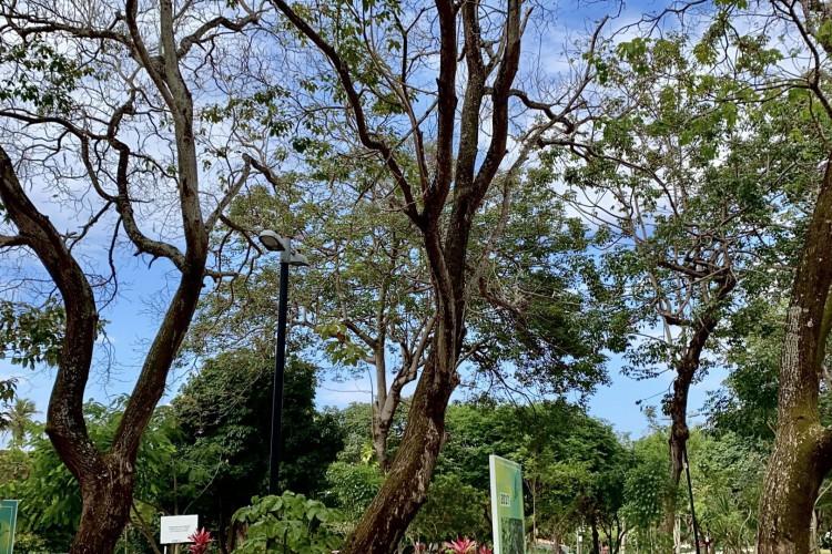 Os três pau-d'arcos-roxos do Adahil Barreto, no Parque Estadual do Cocó, em Fortaleza. As espécies são apontadas pela Unilab como matrizes sementeiras para reflorestamento(Foto: DEMITRI TÚLIO)