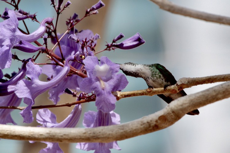 Promavera em Fortaleza: em um ipê-roxo que vive no Parque Estadual do Cocó é um beija-flor-de-barriga-branca(Foto: DEMITRI TULIO)