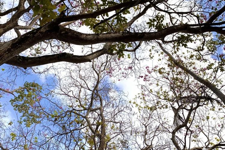 Um perto do outro, a copa dos três pau-d'arcos-roxos misturam as flores na primavera no Unidade de Conservação do Cocó(Foto: DEMITRI TÚLIO)