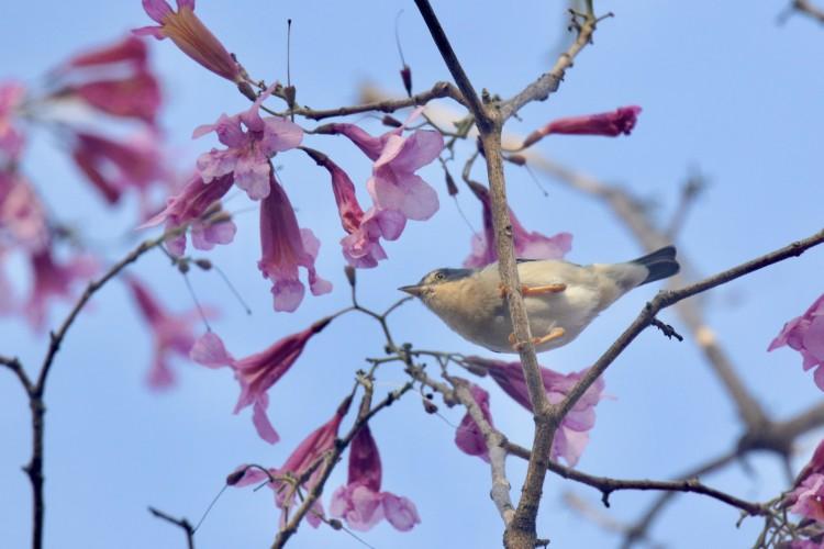 Saíra-de-chapéu-preto na busca por insetos nos galhos de flores do pau-d'arco-roxo(Foto: DEMITRI TÚLIO)