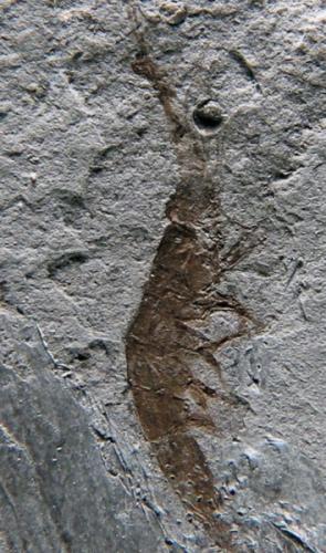 Sume marcosi: camarão luminescente. provavelmente chegou ao Araripe por meio de tsunamis e terremotos.