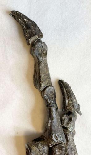 É também o único fóssil petrolizado do Araripe, uma condição rara para a região.