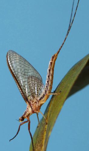 Arianny é a autora principal que descreveu o novo representante da Ordem Ephemeroptera - insetos chamados efêmeras.