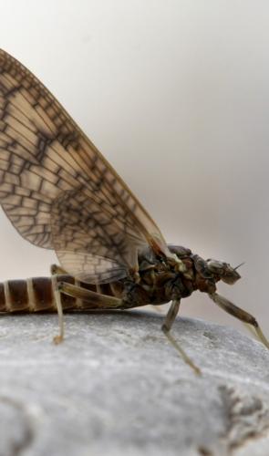 As efêmeras são insetos voadores que morrem dias ou até minutos após atingirem a fase adulta.