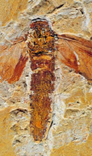 Uma nova espécie de inseto fóssil adulto da Formação Crato, na Bacia do Araripe, carrega em seu nome uma homenagem.