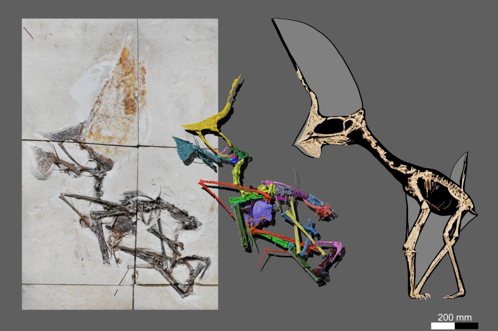 Fóssil do Tupandactylus navigans na rocha, à esquerda, e, à direta o esqueleto organizado.(Foto: Victor Beccari)