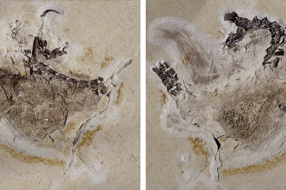 Fóssil do Ubirajara jubatus.(Foto: Divulgação)